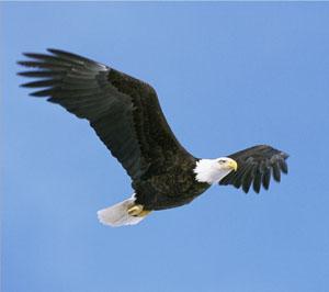 aigle2